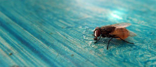 Gratis billede af flue